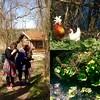 Frühjahrsfotofieber (cu♥re di marmo) Tags: collage spring hen cockerel flowers outdoors sunny