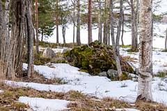 08042018-DSCF8096-2 (Ringela) Tags: sten ludvika april 2018 sweden nature fujifilm xt1 spring forest tree