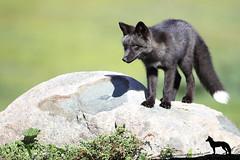 Trouble (Megan Lorenz) Tags: redfox fox foxkit kit babyanimals animal mammal silverfox melanistic vulpesvulpes nature wildlife wild wildanimals newfoundland canada mlorenz meganlorenz