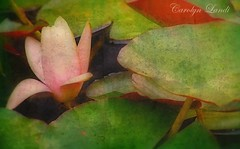 A Water Lily (socalgal_64) Tags: coth5 water lily waterlily texture carolynlandi california socal usa flower leaves pads lilypads stems petals blooms buds blossom spring sanjuancapistrano soft ngc