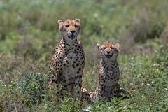Cheetah mother and cub (Ring a Ding Ding) Tags: acinonyxjubatus africa bigcat ndutu nomad serengeti tanzania bokeh cat motherandbaby nature safari survivor wildcat wildlife arusharegion