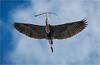 look up... (marneejill) Tags: gbh great blue heron inflight flight wingspan twig graceful patterns wings feathers