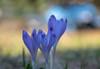 Kárpáti sáfrány / Crocus heuffelianus (Torok_Bea) Tags: kárpátisáfrány crocusheuffelianus crocus sáfrány krókusz nikon nikond5500 flower flowers bokeh sigma zakopane tatry mountainflowers