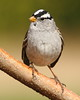 White-crowned Sparrow (jlcummins - Washington State) Tags: bird yakimacounty washingtonstate backyardbirds canon tamronsp150600mmf563divcusd nature