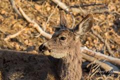 Posing Mule Deer doe