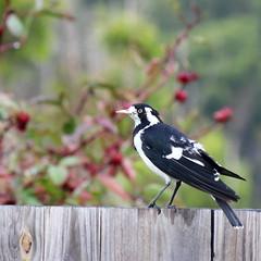 Magpie Lark (Gillian Everett) Tags: magpie lark bird queensland 365 2018 mdpd2018 mdpd20184 monarchidae cyanoleuca grallina