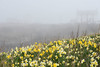 Seaton Sluice harbour daffodils on a misty day 3 (DavidWF2009) Tags: seatonsluice mist daffodils northumberland