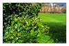 Hedera helix, Efeu (günter mengedoth) Tags: carl zeiss planar t 50 mm f 14 zk carlzeissplanart50mmf14zk efeu fruchtstand beeren kletterpflanze