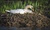 Nesting (Paula Darwinkel) Tags: swan muteswan nest nesting breeding animal wildlife nature spring eggs
