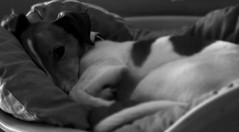 je te surveille - I'm watching you (vieux rêveur) Tags: dog perro chien nb noiretblanc noir black negro blanc white blanco