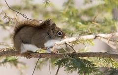 Écureuil Roux // American Red Squirrel (Keztik) Tags: écureuil roux amérique american red squirrel wildlife animal nature nikon d7500 quebec canada