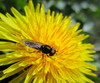 Small but perfectly formed (JulieK (thanks for 6 million views)) Tags: dandelion fly diptera hfdf flydayfriday garden wexford beautifulnature pollination wildlife animal insect wings bokeh fauna flora wildflower ireland irish 2018onephotoeachday macro eyes