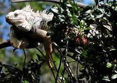 Medellin, Colombia (asterisktom) Tags: tripsouthamerica2017 2017 august colombia medellin iguana
