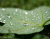 waterdrops (JosjeToby) Tags: waterdrop waterdrops morningdew macro macrophotography macromood nature naturephotography bokeh bokehandblur blur sonya6000 water