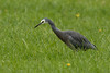 20180409_7381_7D2-400 White-faced Heron foraging in grassland (099/365) (johnstewartnz) Tags: 099365 day099 day99 onephotoaday oneaday onephotoaday2018 365project project365 canon canonapsc apsc eos 7d2 7dmarkii 7d canon7dmarkii canoneos7dmkii canoneos7dmarkii 400mm 400 bird heron whitefacedheron newbrighton newzealand