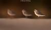 Kentish Plover (Charadrius alexandrine) (Wildlife, Landscape & Cultural) Tags: birds uae dubai nature nikon nikkor d750 500mm wild wildlife desert kentishplover charadriusalexandrine kentish plover charadrius alexandrine depth field outdoor