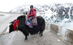Customary Yak Ride at Changu / Tsomgo Lake (Ankur P) Tags: india sikkim eastsikkim gangtok mountains himalayas changu tsomgo lake yak himalaya nathula border