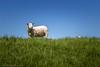 """""""Hidden gem..."""" (Dirk van der Veen) Tags: sheep seawall sky grass"""