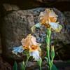 Neighbor's Iris (Pejasar) Tags: iris flower blossom blooms color spring tulsa oklahoma