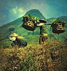 INDONESIEN; Java , Bauern bei der Ernte, 17518/10094 (roba66-on vacation) Tags: urlaub reisen travel explore voyages visit tourism roba66 asien asia indonesien indonesia java ostjava bauern ernte rural vulkan landwirtschaft