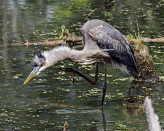 Great blue heron in attack mode.. (mark owens2009) Tags: greatblueheron attack marsh