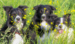 The gang - Oliver, Blade & Tara (badger2028) Tags: border collie three trio