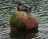 Dozy duck (Phil Gayton) Tags: water bird buoyant buoy anasplatyrhynchos mallard duck river dart totnes devon uk