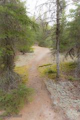 following the TRAIL (maureen.elliott) Tags: 7daysofshooting 7dos beginningwithlettert tuesdaytexture trail textures woodland lichen trees path walking winding algonquinpark nature forest