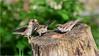 LR7-PGH55481 (JB89100) Tags: 2018 6kphotomode effetsspeciaux moineau oiseaux quoi