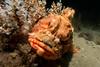 EASTERN RED SCORPIONFISH (scatrd) Tags: 2018 scorpaenajacksoniensis portstephens underwaterphotography australia rx100mkiv scuba rx100m4 nsw nelsonbay country easternredscorpionfish underwater newsouthwales jasonbruth scubadiving sonyrx100mkiv sony rx100iv redrockcod flypoint