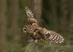 Tawny by Day (pixellesley) Tags: owl tawnyowl bird hunting feeding wild free animal feathers woodland yorkshire uk birdwatching flying fledglings 4pm afternoon wildlife strixaluco lesleygooding