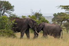 Elephant Siblings Greeting (Hector16) Tags: lamai eastafrica tanzania serengeti loxdontaafricana wildlife nature mararegion tz ngc npc gettyimages