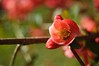 Japanese quince (5ra155) Tags: japanese quince red pink rose flower spring macro garden nature light plant nikon d3200 vivitar series 1 28105mm f28