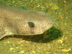 Cat shark (roger_forster) Tags: catshark small spotted shark dogfish jameseganlayne cornwall plymouth whitsand bay underwater diving scuba