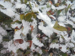 671 (en-ri) Tags: foglie leaves bianco verde sony sonysti freddo cold winter inverno neve snow