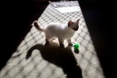 Louie & Keiko (Benicio Murray) Tags: louie keiko kitten fluffy contrastshadow light minimal animal cat birman play sunlight