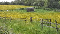 Buttercups (Phil Wood60) Tags: buttercups yellow flowers field