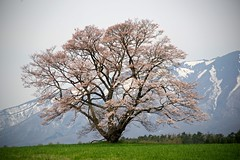 The Stand Alone Cherry Tree (tez-guitar) Tags: cherryblossom cherry tree blossom bloom flower spring petal peak snow iwate koiwai