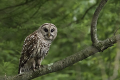 Barred Owl (player_pleasure) Tags: barredowl bird birdsofprey perched woods metropark