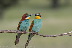 European Bee Eaters - (Merops apiaster) - 'Z' for zoom (hunt.keith27) Tags: meropsapiaster europeanbeeeater rainbow spain extramedura canon sigma perched beautiful bird tree wood