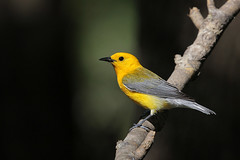 Prothonotary Warbler (Greg Lavaty Photography) Tags: prothonotarywarbler protonotariacitrea texas brazosbend statepark ftbendcounty birdphotography outdoors bird nature wildlife may
