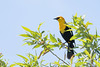 "Yellow-headed Blackbird (Catherine ""Cat"" Rose) Tags: 2018 may ridgefieldnationalwildliferefuge yellowheaded blackbird"