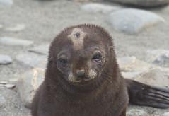 Fur seal pup 6, South Georgia (nisudapi) Tags: seal pup sealpup furseal cute babywildlife2018antarcticaquarkocean diamondsouth georgiasalisbury plain