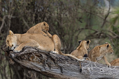 Lion Family resting on a Log (robsall) Tags: 14xiiitc 14xtc 2016 50014x 7dmark2 7dmarkii 7dm2 7dmii africa africatourism africawildlifephotography africanwildlife big bigcat bigcats canon canon500mmf4lisiiusm14xiii canon500mmf414x canon500mmf4ii14xiii canon7dmark2 canon7dmarkii canon7d2 canon7dm2 canoneos canoneos7dmark2 canoneos7dm2 carnivore cat endangered family feline largefelines lion lioness lions mammal pantheraleo predator robsallaeiral robsalldrone robsalldronephotography robsallphotography robsallwildlifephotography tanzania tanzania2016 teleconverter vacation vulnerable mararegion