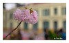 SHF_5526_Cherry blossom (Tuan Râu) Tags: 1dmarkiii 14mm 100mm 135mm 1d 1dx 2470mm 50mm 70200mm 2018 canon canon1d canoneos1dmarkiii canoneos1dx cherryblossoms hoaanhđào nhậtbản japan hanoi hoa flowers dof bokeh thựcvật tuanrau tuan râu tuấnrâu2018 httpswwwfacebookcomrautuan71