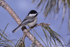 Chickadee, a Welcome Winter Visitor (Lindaw9) Tags: chickadee bird pine tree sky april