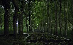 fireflies (KentFan) Tags: forest with fireflies firefly 螢火蟲 森林 樹 復育