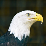 Bald eagle at Great Valley Nature Center thumbnail