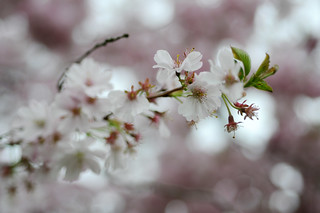 HBW 15/2018: cherry blossom tree