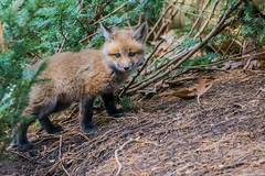 Discovering the world (Sammyboy77) Tags: renardroux redfox vulpesvulpes sammyboy77 baby cub